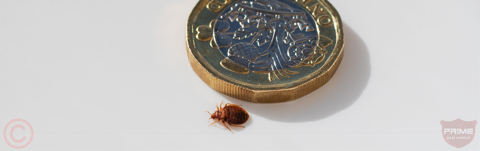 prime-pest-bed-bug-macro1