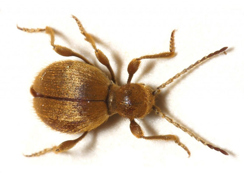Australian and Golden spider beetle treatment and control London