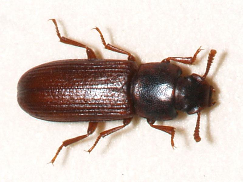 Flour beetle species