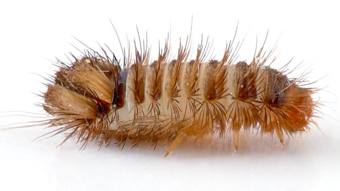 Carpet beetle larva