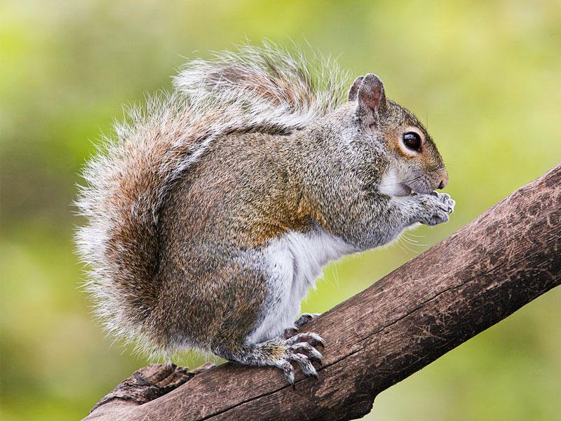 Grey squirrel species