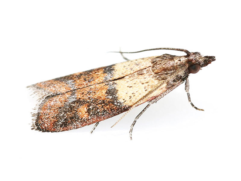 Indian meal moth treatment and control London