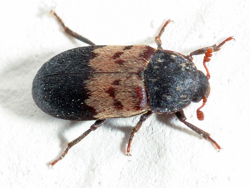 Larder beetle SPI
