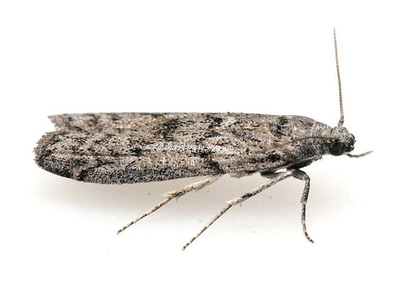 Mill moth SPI