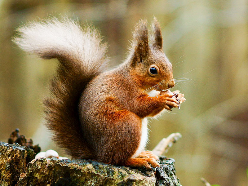 Red squirrel protected