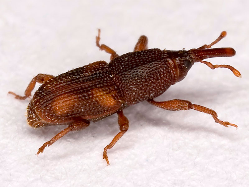 Rice and grain weevil SPI
