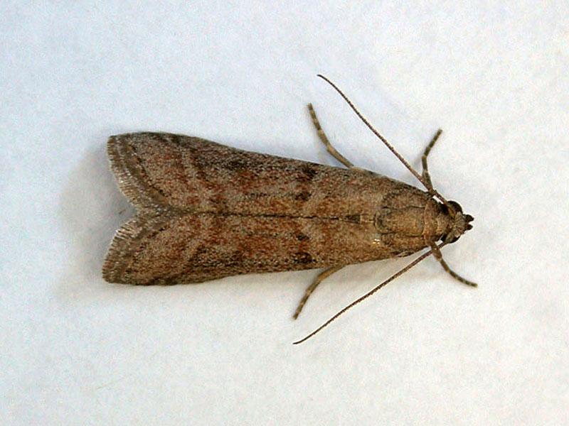 Warehouse moth SPI