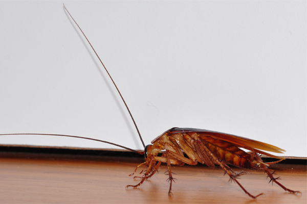 Cockroaches' behavioural traits