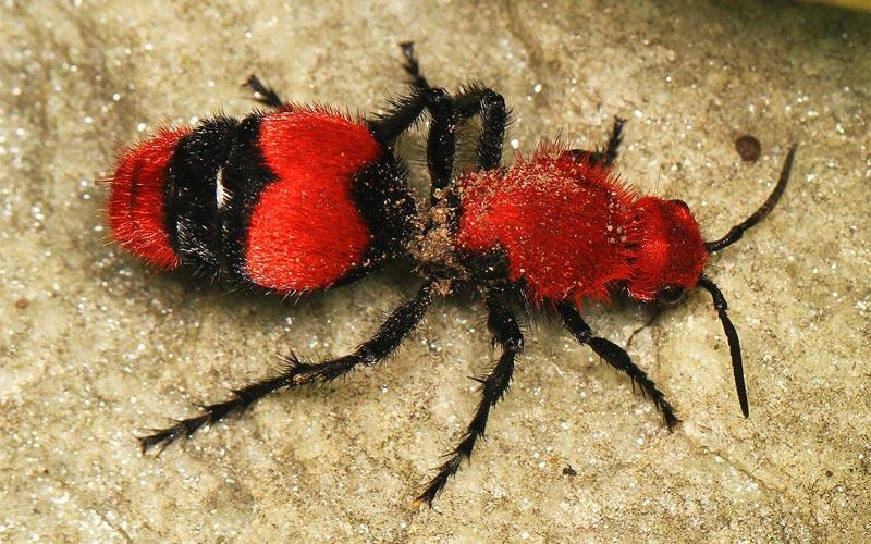Cow killer was, also called velvet ant