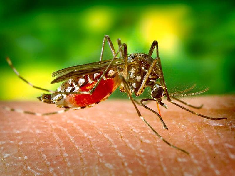 A female mosquito biting